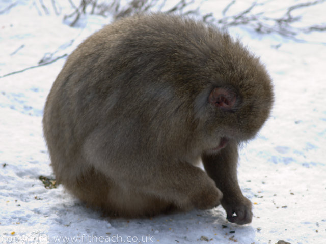 Japanese Macaque eating seeds from snowy ground