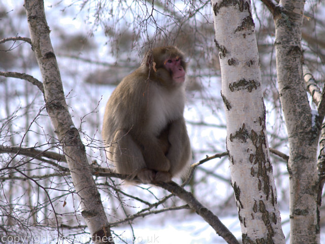 Japanese Macaque sitting in a tree