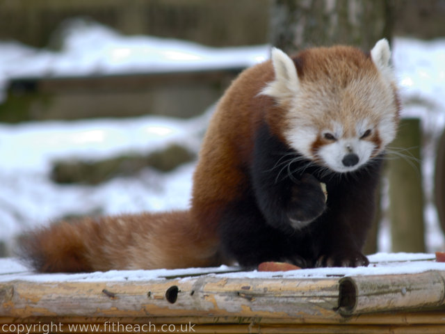 Red Panda eating an apple