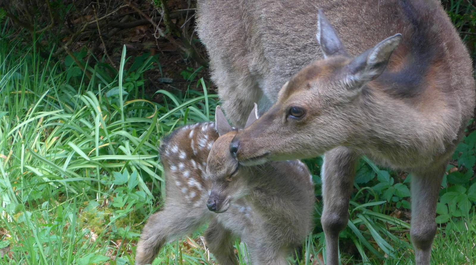 Sika deer hind with newly born fawn